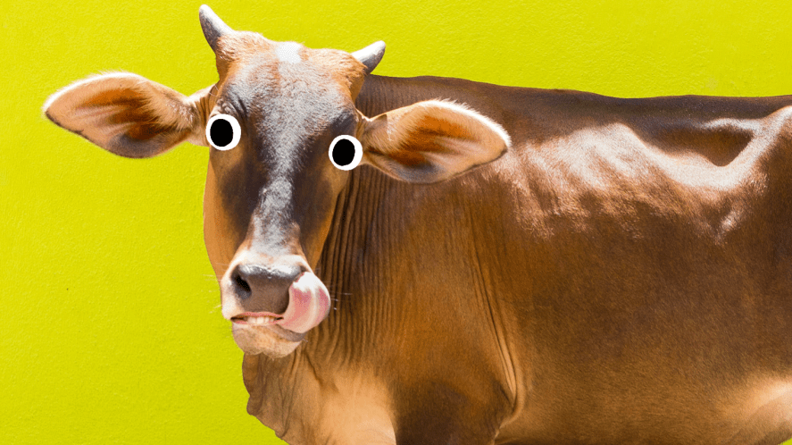 A cow poking its tongue out