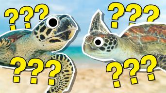 The Ultimate Sea Turtle Quiz!