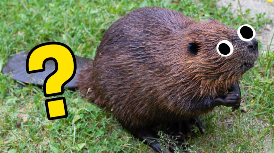 Beaver on grass
