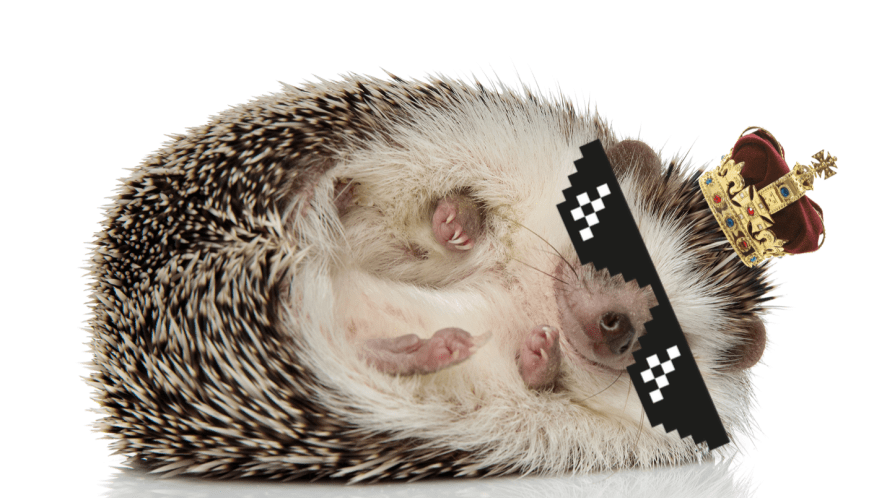 hedghog on white background