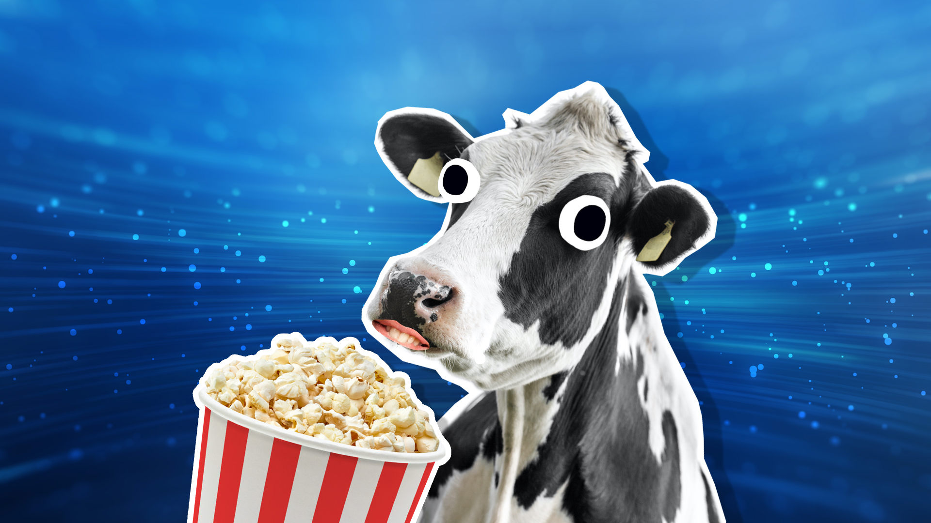 A cow eating popcorn