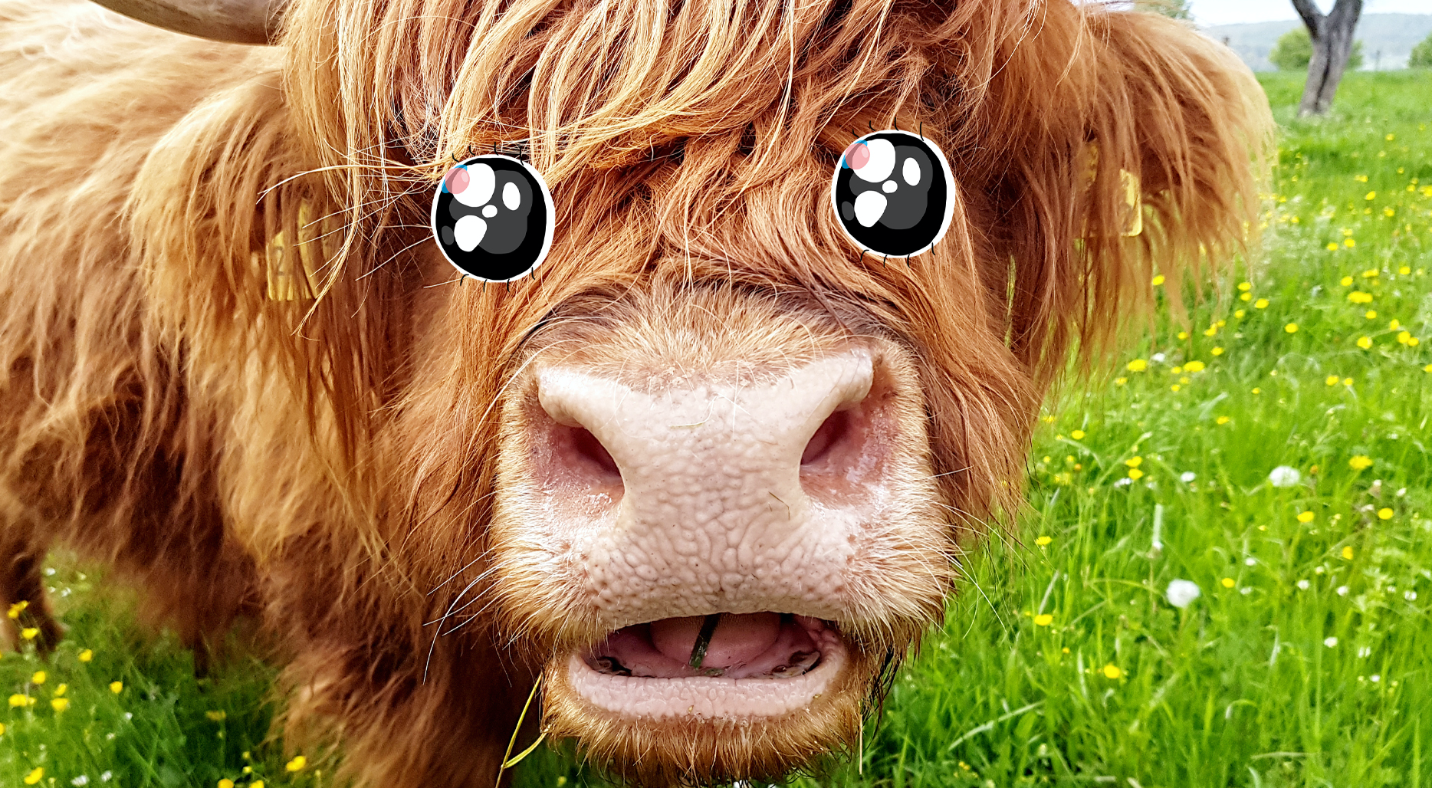 A cow chewing grass