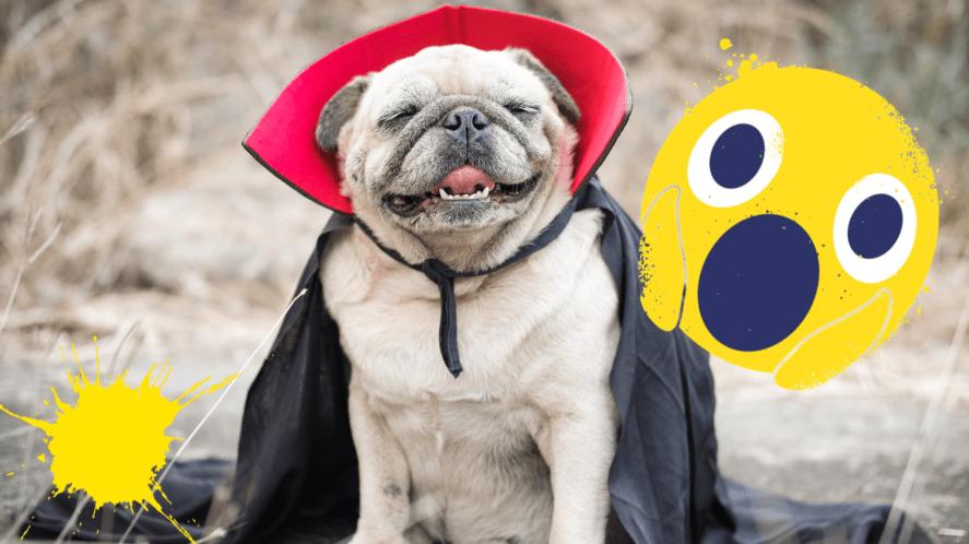 Pug in Dracula cape