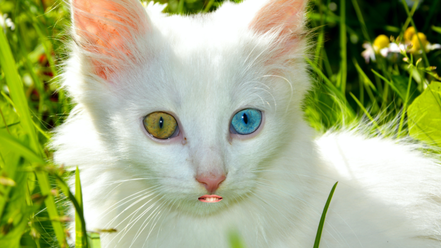 A cat with two different coloured eyes