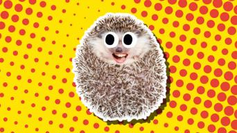 A super-cute hedgehog chuckles at our awesome hedgehog jokes. On closer inspection we can see it has human lips!
