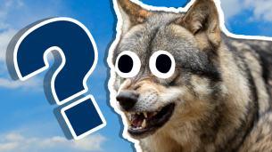 Wolf Trivia Quiz