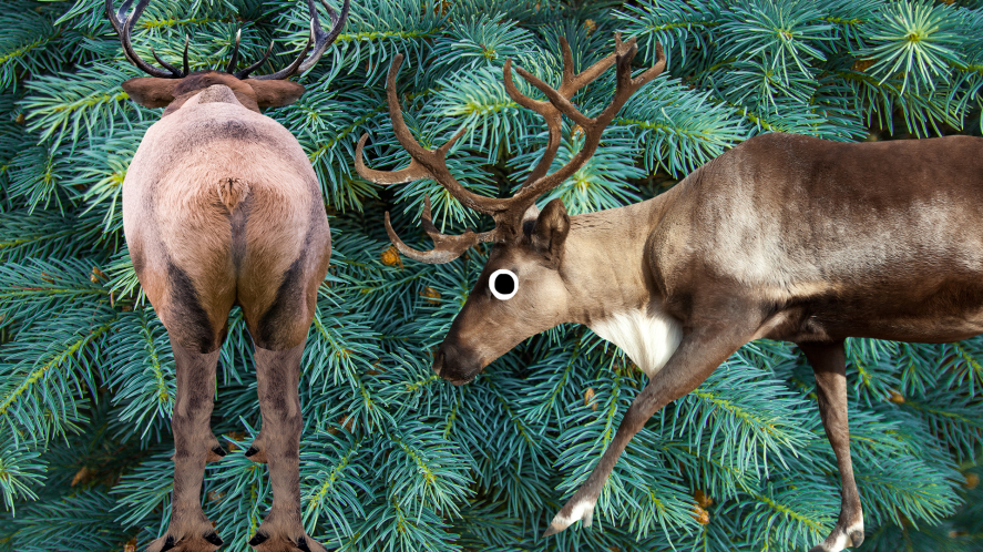 Reindeer on firtree background
