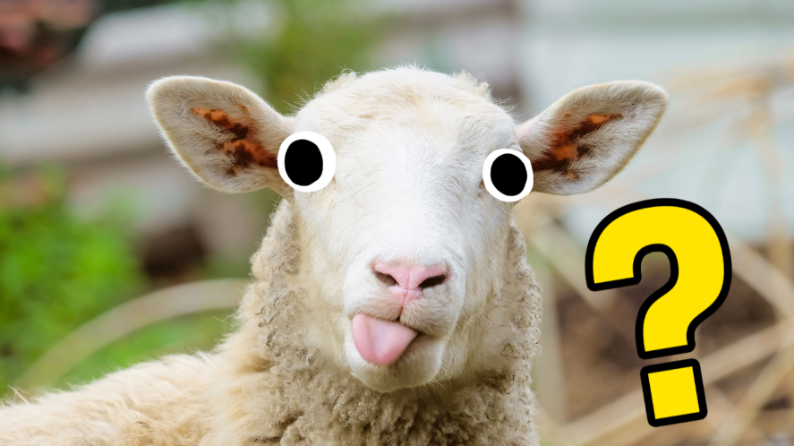Sheep with its tongue out