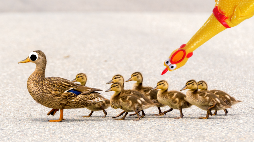 Duck with baby ducks on road